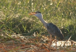 Grey Heron/Héron cendré