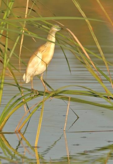 Squacco Heron/Crabier chevelu