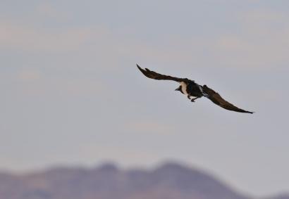 Pied Crow/Corbeau pie