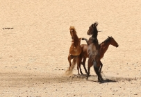 Wild Horse/Chevaux sauvages