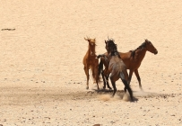 Wild Horse/Chevaux sauvages