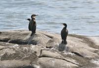 White-breasted Cormorant/Cormoran à poitrine blanche