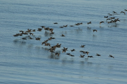 Cape Cormorant/Cormoran du Cape
