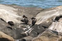 African black Oystercatcher/Huitrier de Moquin