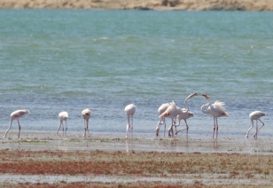 Greater Flamingo/Flamant rose