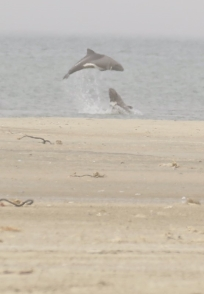 Heaviside's Dolphin/Dauphin de Heaviside