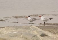 Caspian Tern/Sterne caspienne