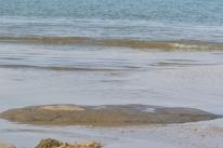 Shoaling/Schooling of Sardina pilchardus/banc de Sardines