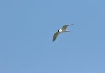 Swift Tern/Sterne huppée