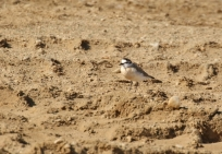 White-fronted Plover/Gravelot à front blanc