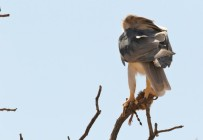 Black-shouldered Kite/Elanion blanc+ proie