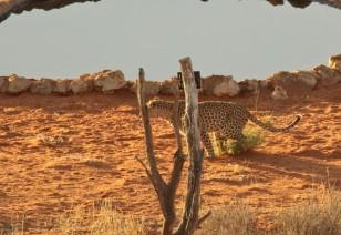 Léopard - Auchterlonie femelle