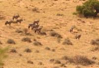 Oryx... nerveux, ça sent le Léopard