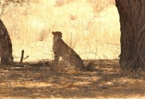 Cheetah - Hanri one cub visible