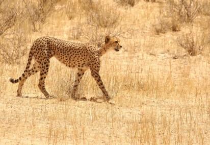 Cheetah - Hanri