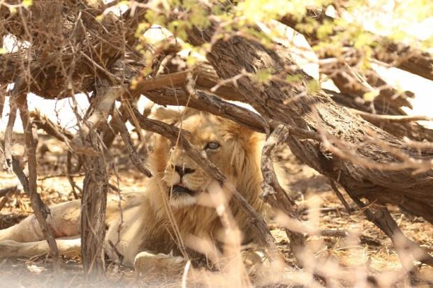 Lion at Urikaruus