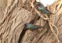 Cape-glossy Starling/Choucador à épaulettes rouges