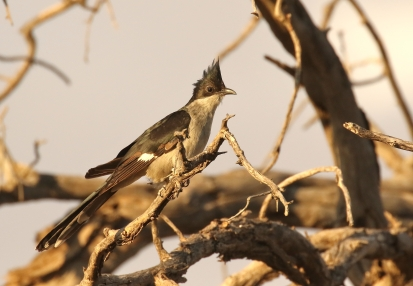 Jacobin's Cuckoo/Coucou de Jacobin