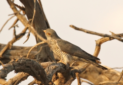 African Cuckoo/Coucou africain