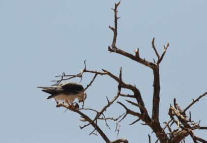 Black-shouldered Kite/Elanion blanc + kill