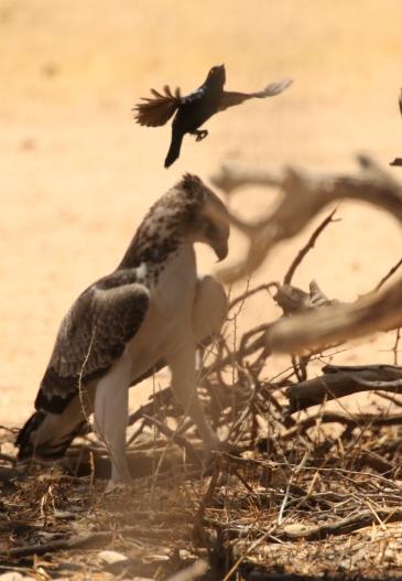 Martial Eagle/Aigle Martial + une proie