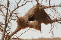nid de l'Effraie