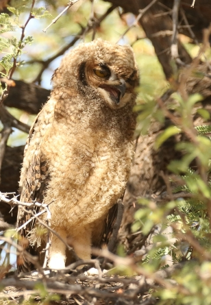 Spotted Eagle Owl/Grand Duc africain