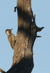Cardinal Woodpecker/Pic cardinal juv.