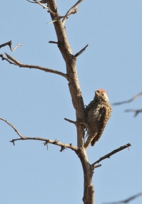 Cardinal Woodpecker/Pic cardinal ad.