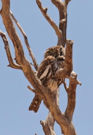Pearl-spotted Owlet/Chevêchette perlée