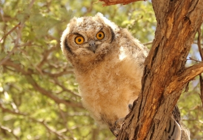 Spotted Eagle-Owl/Grand Duc africain