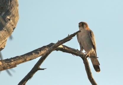 Red-necked Falcon/Faucon chiquera