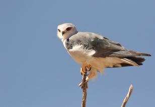 Black-shouldered Kite/Elanion blanc