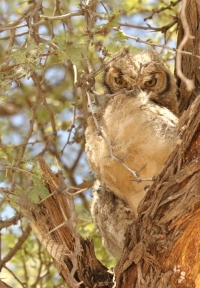 Verreaux's Eagle Owl/Grand-Duc de Verreaux