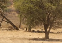 Cheetah-CASTER + 4 cubs à Kwang