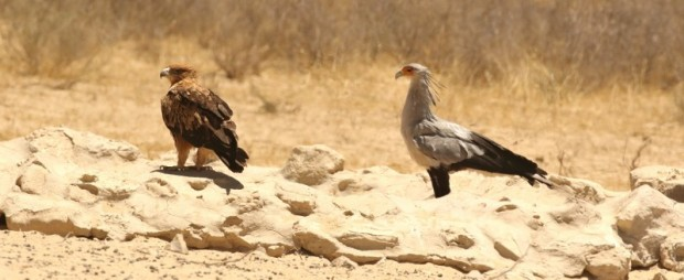 TawnyEagle/Aigle ravisseur+Secretary Bird/Serpentaire