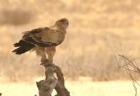 Tawny Eagle/Aigle ravisseur