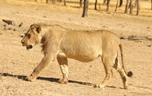 Lion at Geinab