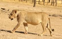 Lion at Geinab