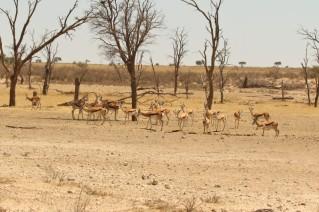 Springbok à Geinab