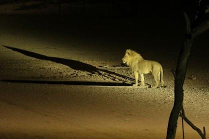 Lion borgne