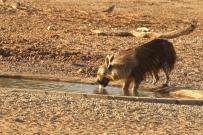 Brown Hyena/Hyène brune