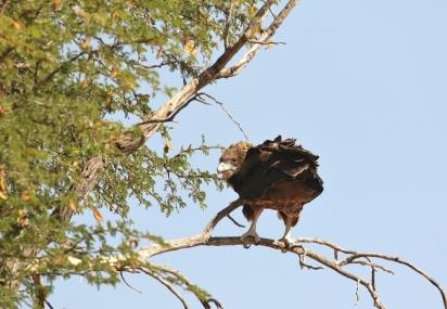 Bateleur Eagle juv./Bateleur des savannes