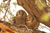 Spotted Eagle Owl/Grand Duc d'Afrique