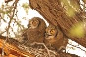 Spotted Eagle Owl/Grand Duc d'Afrique