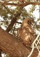 Verreaux's Eagle Owl/Grand-Duc de Verreaux