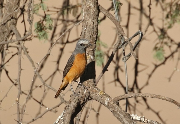 583. Short-toed Rock-Thrush/Monticole à doigts courts - 60 pts