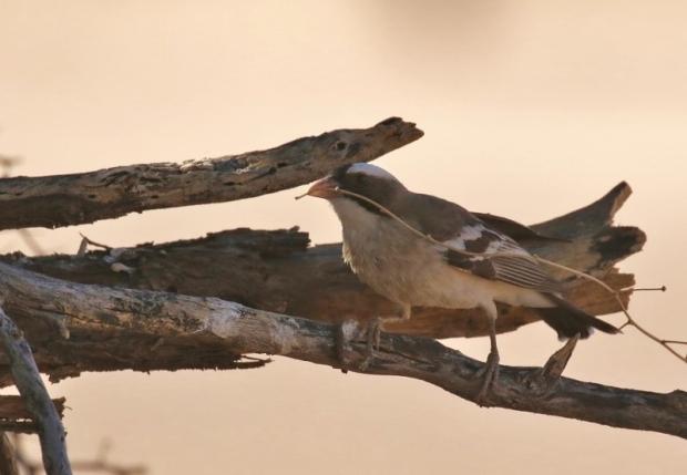 White-browed Sparrow-Weaver/Malahi à sourcils blancs - fait un nid