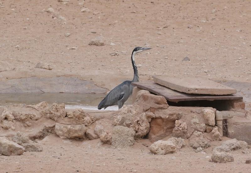 Black-headed Heron/Héron mélanocéphale