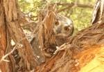Spotted Eagle Owl/Granduc d'Afrique